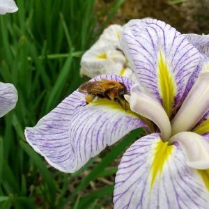 アダルトチックに花菖蒲 (花と虫の写真と詩)