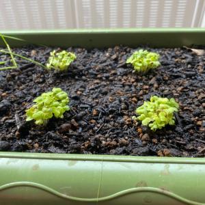 小松菜の植え方失敗