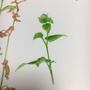 朝の植物画100の1