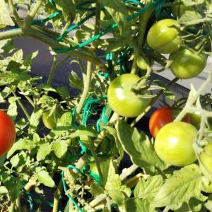 家庭菜園のトマト達