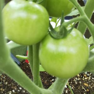今年のトマト「完熟」になるまでにする事