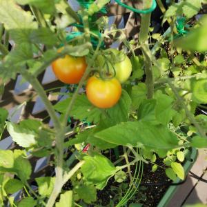 今年も7月はトマトが豊作
