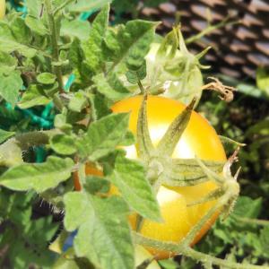 7月後半の収穫と秋トマトの準備
