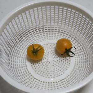 秋トマトの収穫