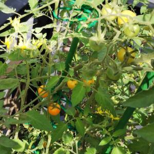「サンオレンジ」の秋トマト