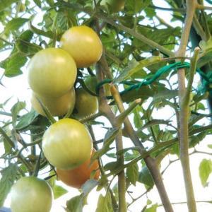 「高リコピントマト」も秋の収穫