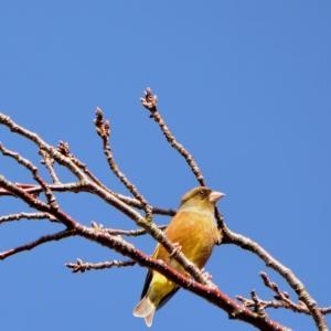 『カワラヒワ・ジョウビタキ・キセキレイ』(野鳥写真)