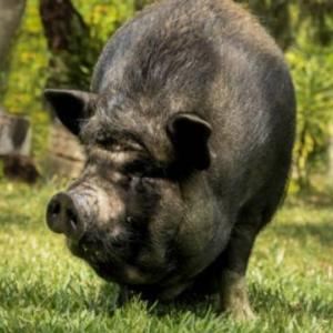 【ブタ戦争】たった一匹の豚をきっかけに起きた戦争