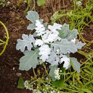 冬に向けて花壇にシルバーリーフ+アイビー