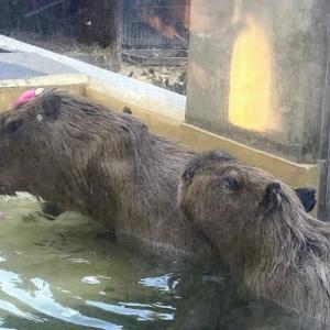 狭山市立智光山公園こども動物園で猿とカピバラの温泉が始まった