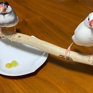 我が家の文鳥は「ぶどう」を食べるのか?