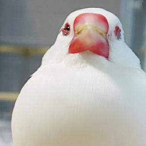 朝からお餅(文鳥)