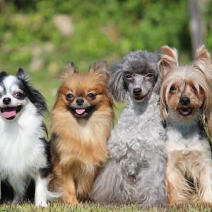 一人暮らしで犬を飼いたい!おすすめの犬種は?