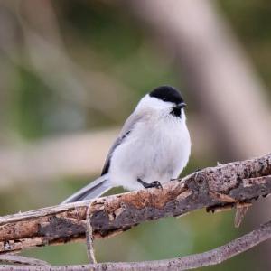 11/23 ベレー帽をかぶった小鳥