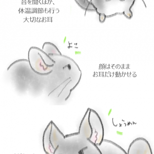 【チンチラの生態】おおきなお耳