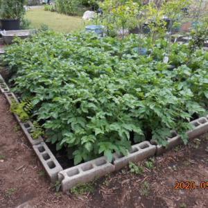 種ジャガイモの購入