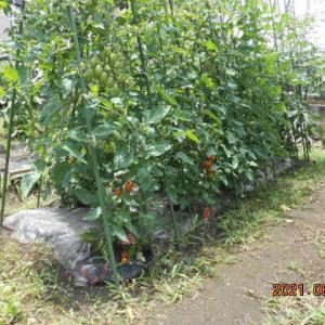 トマトの生育状況