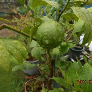 柑橘類の生育状況