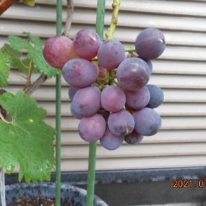 ブドウの生育状況