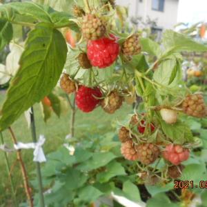 ラズベリーの二度目の収穫