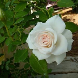 真珠貝という名のバラ