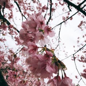 梅の花が綺麗です