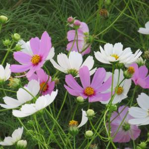コスモス(秋桜)の育て方|日本の秋の風景に欠かせない可愛い花!