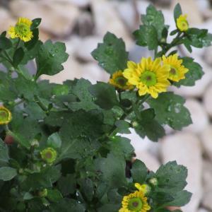 ポットマムの育て方|種類が豊富で秋にピッタリの育てやすい小菊