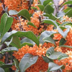 キンモクセイの育て方|甘い香りを放ち、秋の訪れを知らせてくれる