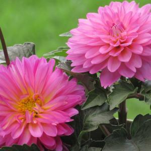ダリアの育て方|はずむような生命力を秘め、多彩な花姿が美しい!