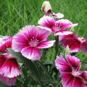 ナデシコの育て方|秋の七草としても古くから親しまれている可愛い花!
