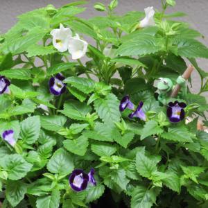 トレニアの育て方|つばめが口を開けたような小花が可愛い!