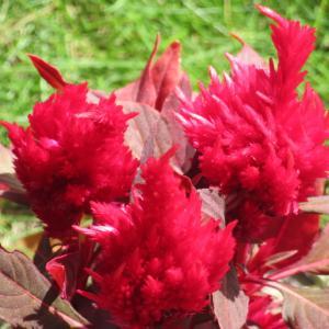 ケイトウの育て方|鮮やかな花色と、特徴ある花姿で花壇を飾る!