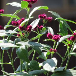 センニチコボウ(千日小坊)の育て方|金平糖のような花が可愛くて人気上昇中!
