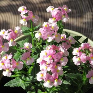 ネメシアの育て方|ミルキーピンクの繊細なかわいい花がたくさん咲く