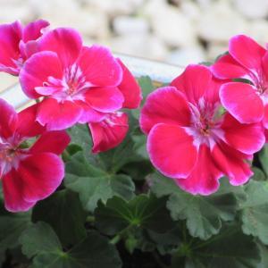 ゼラニウムの育て方|鮮やかな花色で、育てやすい鉢植え向き