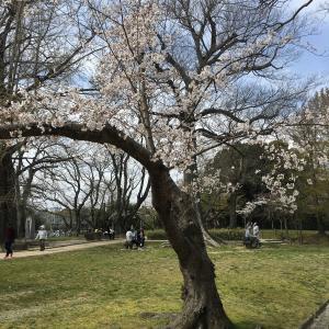 臨時増刊! さ、桜を … 愛でてきたっ
