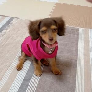 犬用服。長すぎる犬
