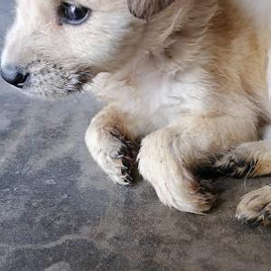3階から落ちたフランク  新しい保護子犬