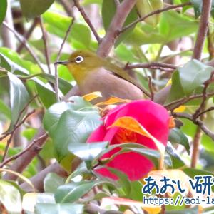 野鳥記録 15 / 2021年4月5日 メジロ (群馬県)