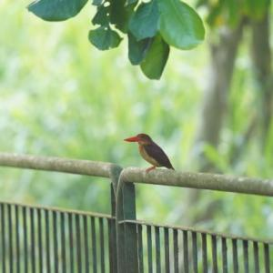 Ruddy Kingfisher in Kranji( Northwest,Singapore) Mar.2020