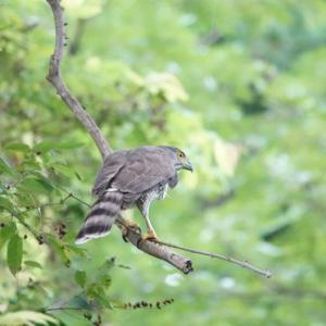 Goshawk in Pasir Ris Park(Northeast,Singapore)Sep.2020