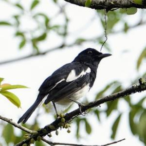 Oriental magpie-robin in Singapore Botanic Gardens(World Heritage,Singapore)Jul 2020