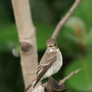 Dark-sided Flycatcher in Tuas-Part1(Southwest, Singapore) Sep 2020