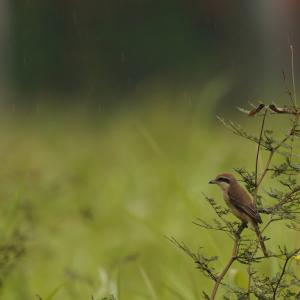 Tiger Shrike in Tuas-Part2(Southwest, Singapore)Sep2020