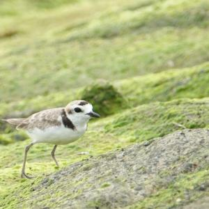 Malaysian Plover in Marina Barrage(South ,Singapore )Aug 2020