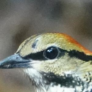 Blue Pitta in Kaeng Krachan National Park-Part3(Thailand) Dec 2019