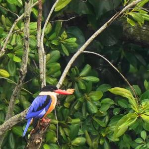 Black-capped Kingfisher in Sungei Buloh(North ,Singapore) Nov 2020