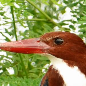 White-throated Kingfisher in Kranji(North,Singapore) Nov 2020
