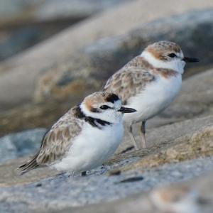 Kentish Plover in Marina Barrage(South,Singapore) Nov 2020